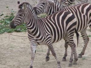 ...und ein Zebra, zum Reiten nah