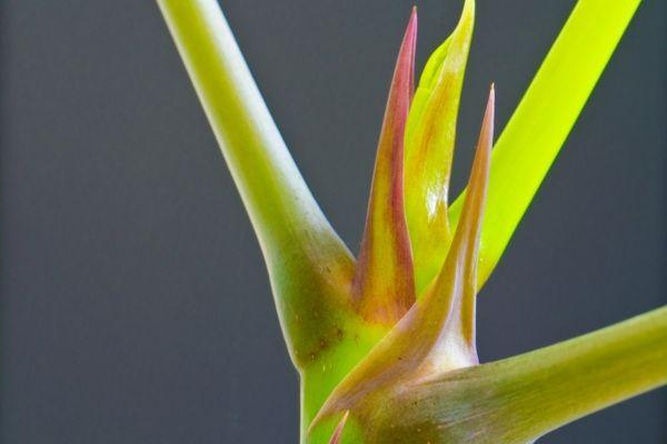 Blume STrelitzie