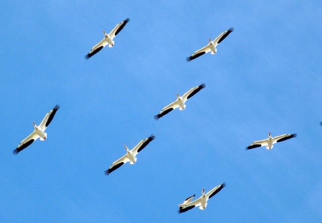 https://pixabay.com/de/v%C3%B6gel-tiere-pelikane-familie-112083/